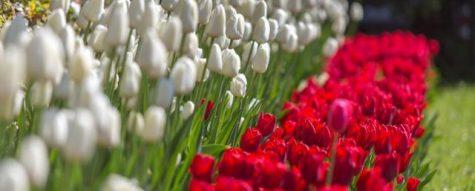 bialo czerwone tulipany